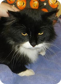 Domestic Longhair Cat for adoption in Rapid City, South Dakota - Itchy