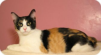 Domestic Shorthair Cat for adoption in Milford, Massachusetts - Tazz and Jinx
