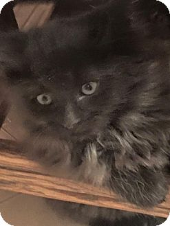 Maine Coon Kitten for adoption in Levelland, Texas - Maggie