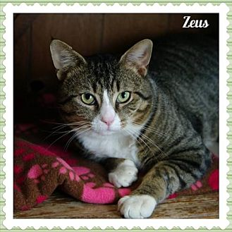 Domestic Shorthair Cat for adoption in Island Heights, New Jersey - Zeus