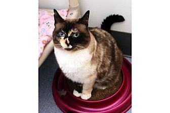 Domestic Shorthair Cat for adoption in Bellevue, Washington - Shasta