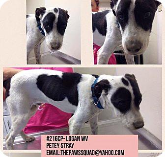Australian Cattle Dog Mix Dog for adoption in Chapmanville, West Virginia - Petey