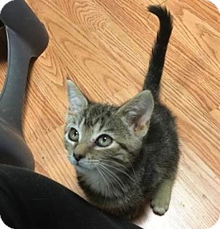 Domestic Shorthair Kitten for adoption in Cheltenham, Pennsylvania - Audrey