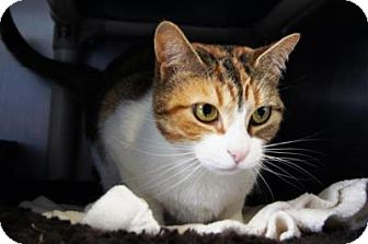 Domestic Shorthair Cat for adoption in New Milford, Connecticut - Eevee