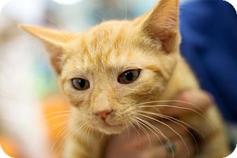 Domestic Shorthair Cat for adoption in Harrisonburg, Virginia - Tiger