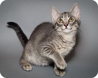 American Shorthair Kitten for adoption in Rochester, New York - Alex