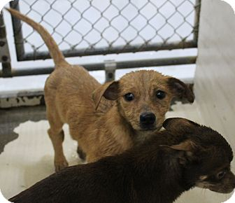 Dachshund Mix Dog for adoption in Odessa, Texas - A22 Terrance
