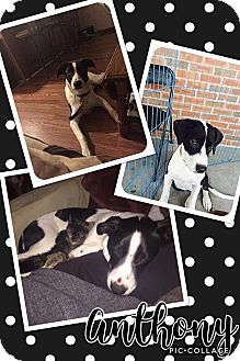 Hound (Unknown Type) Mix Dog for adoption in ST LOUIS, Missouri - Anthony