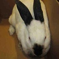 Adopt A Pet :: NEVEAH - Santa Maria, CA