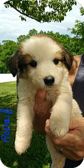 Great Pyrenees/Labrador Retriever Mix Puppy for adoption in Twinsburg, Ohio - Ronald