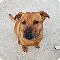 Adopt A Pet :: Buddy - Laingsburg, MI
