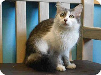 Domestic Mediumhair Cat for adoption in Belleville, Illinois - CORA