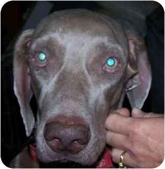 Weimaraner Dog for adoption in Eustis, Florida - Zeppy  **ADOPTED**