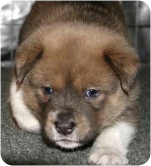 Shepherd (Unknown Type) Mix Puppy for adoption in Sacramento, California - Chica!
