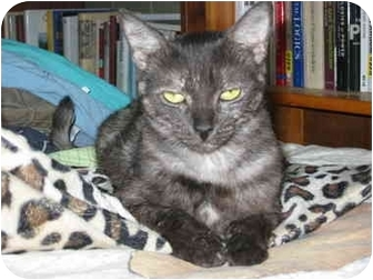 Domestic Shorthair Cat for adoption in Davis, California - Lucy