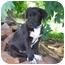 Photo 3 - Labrador Retriever/Border Collie Mix Puppy for adoption in McArthur, Ohio - DUECE