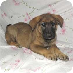 German Shepherd Dog/Labrador Retriever Mix Puppy for adoption in Bel Air, Maryland - Thunder