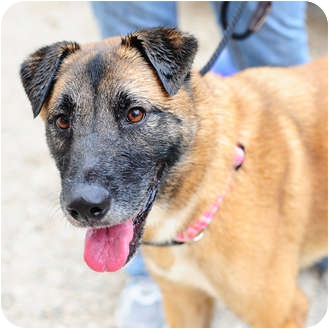 Akita/German Shepherd Dog Mix Dog for adoption in Boynton Beach, Florida - Sadie