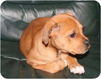 Boxer Mix Puppy for adoption in Turnersville, New Jersey - Hazel