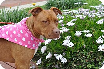 American Staffordshire Terrier Mix Dog for adoption in Redondo Beach, California - Liberty Belle