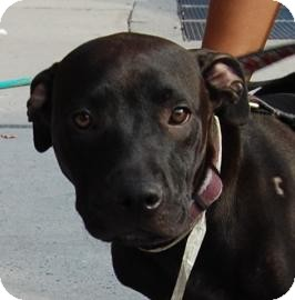 Labrador Retriever Mix Dog for adoption in Brooklyn, New York - Lovey