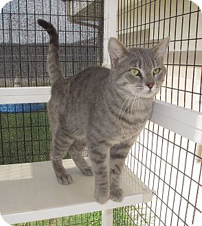 Domestic Mediumhair Cat for adoption in Corpus Christi, Texas - Arthur