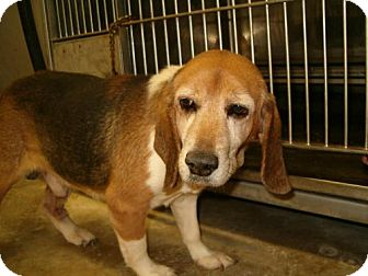 Beagle Dog for adoption in Upper Sandusky, Ohio - BOB