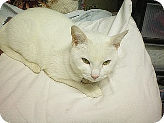 Domestic Shorthair Cat for adoption in New York, New York - Peachy