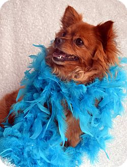 Pomeranian/Chihuahua Mix Dog for adoption in Bridgeton, Missouri - Ruby-Adoption pending