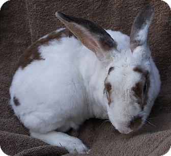 Mini Rex for adoption in Santee, California - Bixby