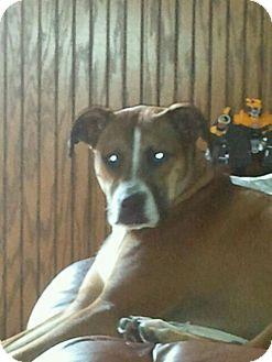 American Bulldog Dog for adoption in Carey, Ohio - MAGGIE (courtesy post)