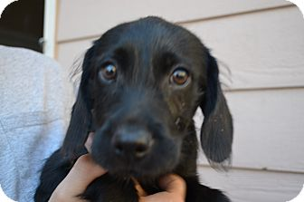 Labrador Retriever/Terrier (Unknown Type, Medium) Mix Puppy for adoption in Westminster, Colorado - Shelby
