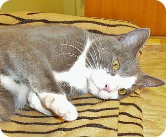 Domestic Shorthair Cat for adoption in Hastings, Nebraska - Eldon
