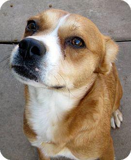 Beagle/Australian Shepherd Mix Dog for adoption in Oakley, California - Trixie
