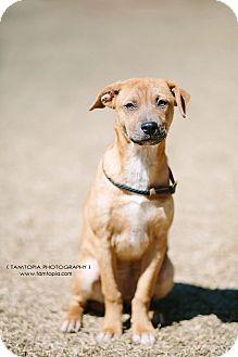 Feist/Labrador Retriever Mix Puppy for adoption in Pinehurst, North Carolina - Mercedes