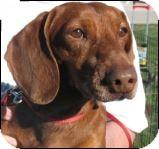 Dachshund Mix Dog for adoption in Las Vegas, Nevada - Harold