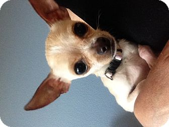 Chihuahua/Chihuahua Mix Dog for adoption in petaluma, California - French Fry