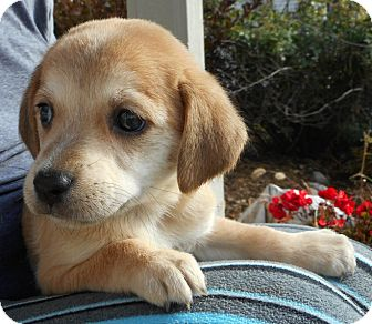 Labrador Retriever Mix Puppy for adoption in Schaumburg, Illinois - Biscuit