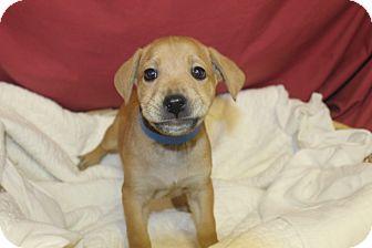 Labrador Retriever Mix Puppy for adoption in Waldorf, Maryland - December