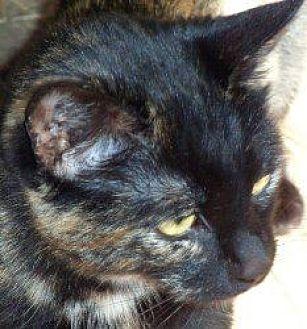 Calico Cat for adoption in Salisbury, North Carolina - Callie