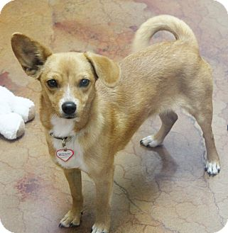 Chihuahua/Dachshund Mix Dog for adoption in Benbrook, Texas - Sienna