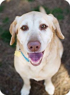 Labrador Retriever Dog for adoption in Huntsville, Alabama - Hannah