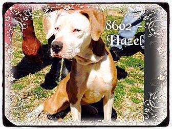 Weimaraner Mix Dog for adoption in Dillon, South Carolina - Hazel
