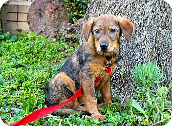 Shepherd (Unknown Type) Mix Puppy for adoption in Los Angeles, California - Clara Belle