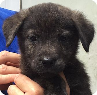 Border Collie/Australian Shepherd Mix Puppy for adoption in Orlando, Florida - Willis#1M
