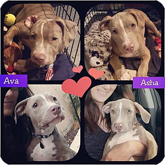American Pit Bull Terrier Mix Puppy for adoption in Palm Springs, California - Ava