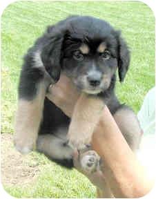 Shepherd (Unknown Type) Mix Puppy for adoption in Cincinnati, Ohio - Betty