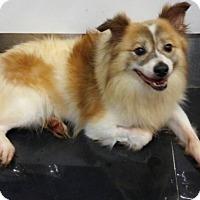 Adopt A Pet :: Prince - Elmhurst, IL