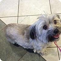 Adopt A Pet :: Joy - Grafton, MA