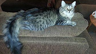 Domestic Mediumhair Cat for adoption in Wichita Falls, Texas - Lottie